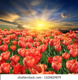 tupils flower meadow on sunset background