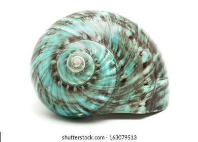 Turbo Marmoratus Shell
