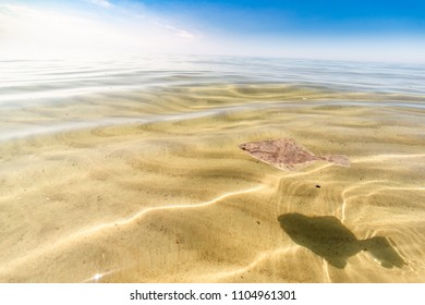 Turbot swimming in shallow water. Nida beach, Lithuania
