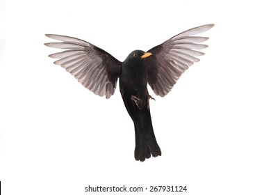 turdus merula - a blackbird in flight isolated on a white background