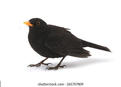 turdus merula - blackbird isolated on white background