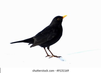Turdus merula, Eurasian Blackbird isolated on white background