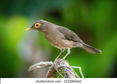 Turdus nudigenis or Spectacled thrush The bird is perched on the branch nice natural environment of wildlife of Trinidad and Tobago