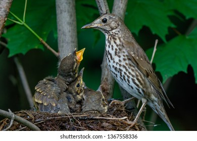 Turdus philomelos. The nest of the Song Thrush in nature.