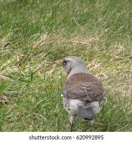 Turdus pilaris, common fieldfare,