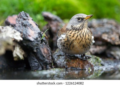 Turdus pilaris drinks from a pond, the Netherlands