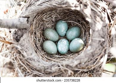Turdus pilaris, Fieldfare.  Nest of a bird in the nature.