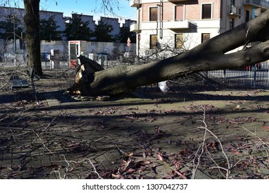 TURIN, ITALY, CIRCA DECEMBER 2018: a tree uprooted by a storm in an urban city square.