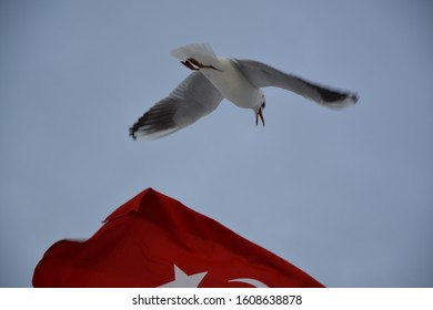turk flag and white seagulls