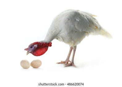 Turkey and egg  isolated on a white background. Studio
