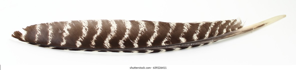 Turkey feather isolated on white