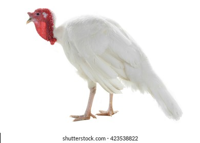 turkey isolated on a white background