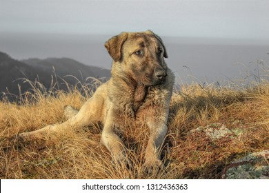 Turkey kangal dog