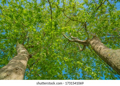 Üsküdar, TURKEY, May 13, 2020 : Looking up tree - Green Tree branches nature abstract. Spring Summer Sun Shining Through Canopy Of Tall Trees. Sunlight In Deciduous Forest, Summer Nature. 9