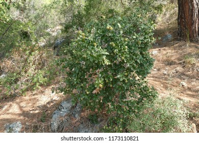 Turkey oak or Kermes oak, Quercus coccifera, is an oak in the Quercus section Cerris. Here a shrub with young acorn in august in the forest near Kemer, district Antalya, Mediterranean coast of Turkey