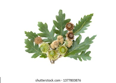 Turkey oak (Quercus cerris) fruits and leaves isolated on a white background.