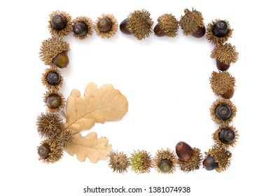 Turkey oak (Quercus cerris)frame from dry fruits and leaves isolated on a white background.