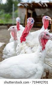 Turkey on a farm