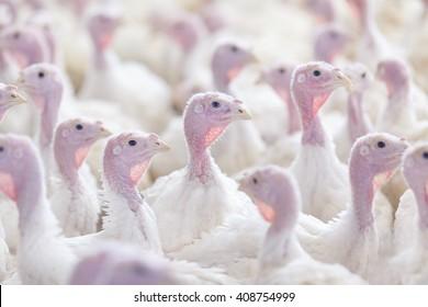 turkey on a farm , breeding turkeys