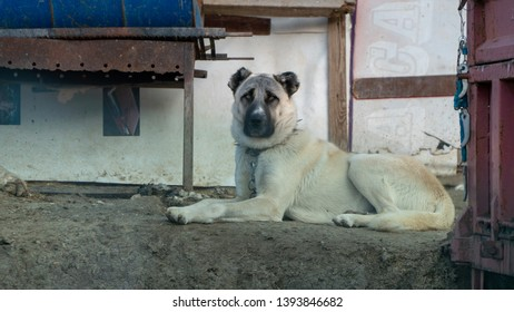 Turkey Sivas Kangal shepherd dog
