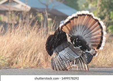 A turkey strutting on a organic farm