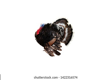 Turkey Tom strutting his stuff isolated on white