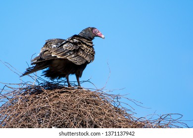 A Turkey Vulture (Cathartes aura) perched atop an overgrown abandoned farmhouse.