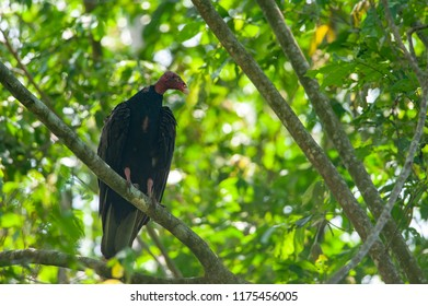 Turkey vulture (Cathartes aura) preching on a tree in Corcovado national park, Costa Rica