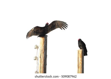 Turkey Vulture drying wings on the pole with another one near by, isolated over nearly white background