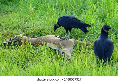 A turkey vulture eating a dead deer