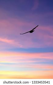 Turkey vulture flying, Otter Crest,  Oregon Coast