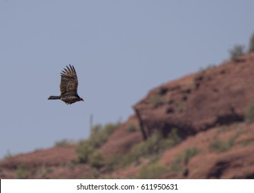 Turkey Vulture  in the Lower Salt River, Tonto National Forest, Arizona
