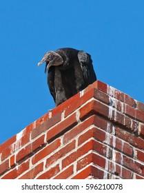 Turkey Vulture on Chimney with Beak Open Against Blue Sky