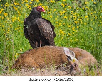 Turkey vulture scavenging on a roadkill deer.