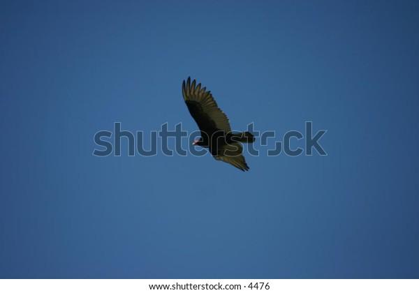 turkey vulture soaring across a blue sky
