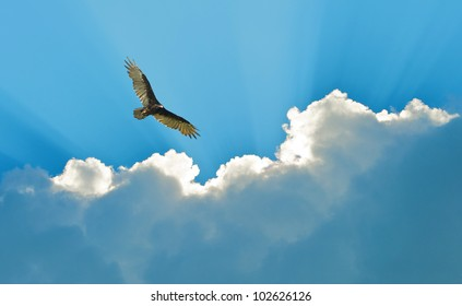 Turkey vulture soaring high, hunting,  against a beautiful dramatic sky.