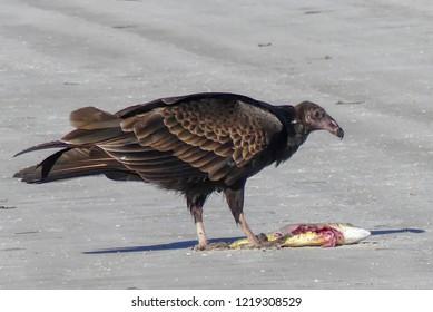 Turkey Vulture Tampa Florida
