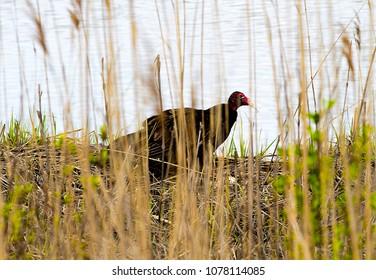 Turkey Vulture in Wetlands