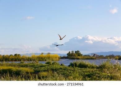Turkey vultures flying over the Sacramento bird sanctuary.