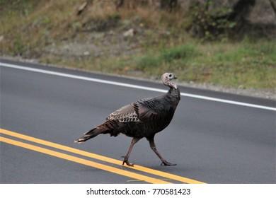 Turkey Walking Across The Road