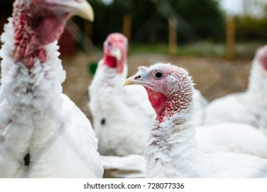 Turkeys from behind a metal fence on the farm.