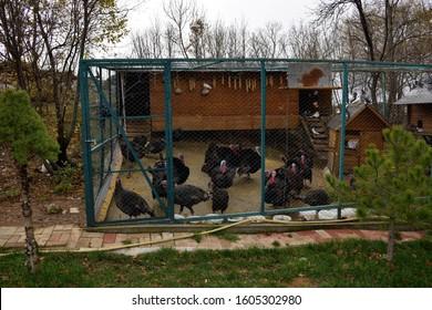 Turkeys being kept in an outdoor coop