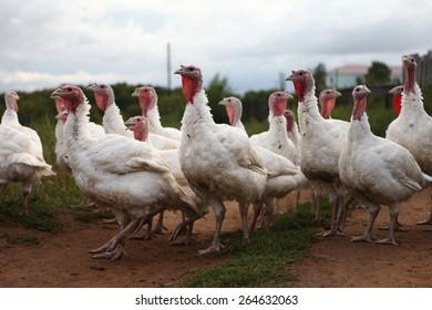 Turkeys for a walk