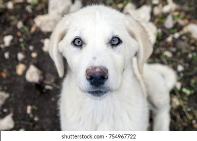 Turkish Anatolian shepherd dog Akbas
