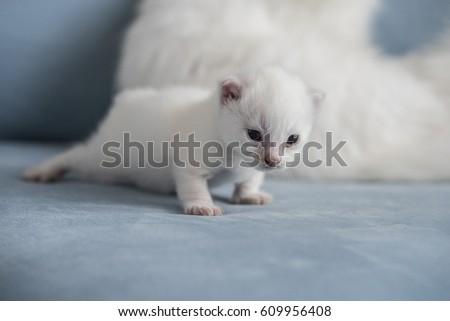 Turkish Angora Cat Kitten Stock Photo Edit Now 609956408