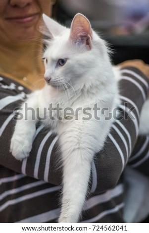 b61d650484 Turkish Angora Cat Portrait Pedigree Cat Stock Photo (Edit Now ...