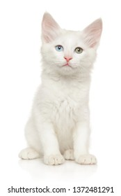 Turkish Angora kitten with different colored eyes posing on white background, front view