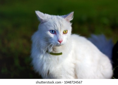 ecf48c18af Turkish Angora white cat with eyes of different colors
