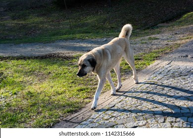 Turkish breed shepherd dog Kangal as livestock guarding dog