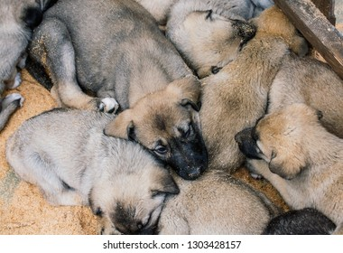 Turkish breed shepherd dog puppies  Kangal as livestock guarding dog